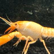 藍蝦房-黃金甲 螯蝦 1公分內小仔蝦