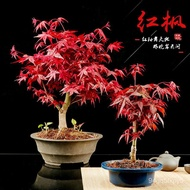 Red Maple Bonsai Red Dance Girl Old Pile Four Seasons Red Maple Bonsai Japanese Red Maple Sapling Living Room Interior P