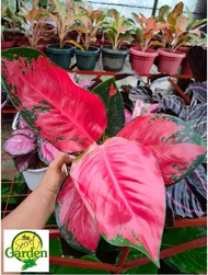 Aglaonema Suksom Jaipong with FREE plastic pot pebbles and garden soil (Rare Plant and Limited Stock) - LUZON ONLY