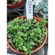麗加蘭園-多肉植物-弦月錦