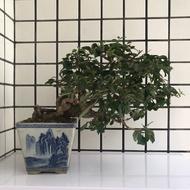 ◆ 明陽盆栽園*【九重葛(懸崖.露根)】樹高24*左右30*幹徑8cm 小品盆景 ◆