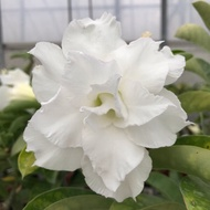 沙漠玫瑰 重瓣品種 嫁接5吋盆(白千層)