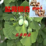 種植 園藝生活 盆栽銀杏種子銀杏樹苗一級銀杏種子大個飽滿發芽高綠化銀杏種子