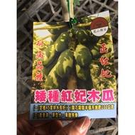 花囍園_水果苗—紅妃矮種木瓜--果實多呈圓柱形或西洋 梨形/6吋高約30-50cm/售500特價450