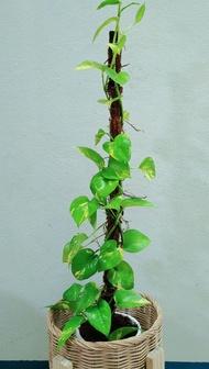 ต้นพลูด่างยักษ์ เลื้อย,พลูด่างฉีก,พลูป่า,พลูหายาก,พลูด่าง 💥ส่งให้ทั้งกระถาง+ไม้เลื้อย สูง80ซม.💥ต้นโตพร้อมปลูก ใบไม้ด่าง