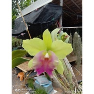 "Hot Sale กล้วยไม้ แคทลียา แคทลียาเมมเฮเรนบราว กระถาง3""ครึ่ง ไม่ติดดอก แต่ไม้เป็นไซต์ให้ดอกได้แล้วค่ะ ราคาถูก ต้นไม้ มงคล ต้นไม้ มงคล รวย ทรัพย์ ต้นไม้ มงคล ปลูก ใน บ้าน ต้นไม้ มงคล ปลูก แล้ว รวย"