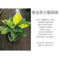 心栽花坊-黃金蔓綠絨/黃金帝王蔓綠絨/8吋/觀葉植物/室內植物/綠化植物/售價400特價350