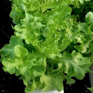 Kristine RZ - Oakleaf Lettuce | 1000 seeds | Rijk Zwaan Seeds by Greengold Farms