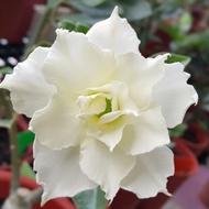 沙漠玫瑰 重瓣品種 嫁接5吋盆(白海豚)