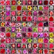 高貴品種100粒沙漠玫瑰泰國進口種子2020年 adenium desert Rose