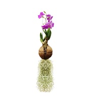 REAL LIVE AIR PLANT ORCHID FLOWER + MOSS INCLUDING HANGING HOME AND GARDENING DECORATION PLANTS POKOK HIDUP