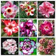 安奈美小姐--泰國進口沙漠玫瑰種子混合盆栽花卉種子易種活室內陽臺裝飾