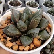 New Arrival สินค้าใหม่ Haworthia Kyoshinhei G Succulents กุหลาบหินนำเข้า ไม้อวบน้ำ