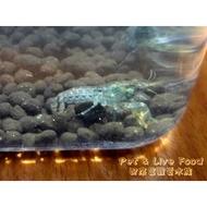 ●藍特薩努螯蝦【2cm↓】●【配來富觀賞水族】觀賞蝦-螯蝦~白螯 橘螯 佛羅里達藍螯(佛螯) 特薩努