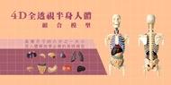 4D全透視半身人體組合模型(4DVision, 4DHuman, 4DMaster人體模型系列)