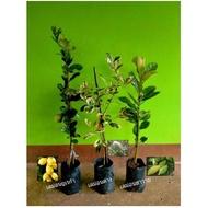 (Promotion+++) ต้นเลม่อนยูเรก้า +ต้นเลม่อนด่าง +ต้นเลม่อนฮาวาย จัดชุดโปร 3 ต้น 699  รวมค่าจัดส่งแล้วจร้า ราคาถูก ต้นไม้ ฟอก อากาศ ต้นไม้ ปลูก ใน บ้าน ต้น บอน ไซ ต้นไม้ ปลูก ใน ห้อง นอน