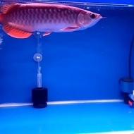 arwana golden red HB 32cm
