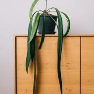 หน้าวัวใบยาว Anthurium vittarifolium หน้าวัวใบเนคไท 1 ต้น ต้นเล็ก/สมบูรณ์ สวย!!