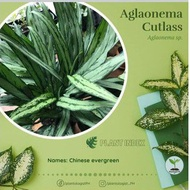 Aglaonema Cutlass/ Aglaonema Variety