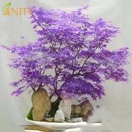 ANITY 30pcs Japanese Maple Tree Bonsai Seeds Palmatum Atropurpureum Plant Garden