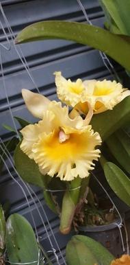 """ต้นกล้วยไม้ แคทลียา (Cattleya)"""" ราชินีแห่งกล้วยไม้ ไม้พร้อมให้ดอก ดอกใหญ่พิเศษ ดอกหอม ออกดอกตลอด เลี้ยงง่าย จัดส่งพร้อมกระถาง 4 นิ้ว ลำต้นสูง 30-45ซม ต้นไม้แข็งแรงทุกต้น เรารับประกันจัดส่งห่ออย่างดี จัดส่งสินค้าตามรูป"""
