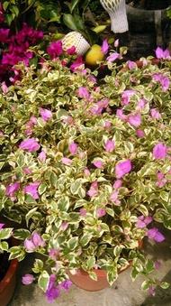 樹苗~水果苗~玫瑰苗~香草~圍籬樹苗 (( 斑葉九重葛  (淺紫)   )) 6吋盆- 花花世界玫瑰園