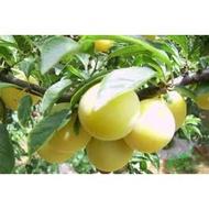 水果苗 **  香蕉李苗/2入稼接苗  苗高約50-90cm