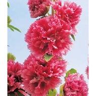 長春蜀葵種子 蜀葵 種子20入種子