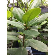 Ficus Green Island/Ficus elastica/microcarpa 5-6 inches only