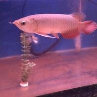 arwana golden red 27 cm