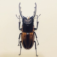 甲蟲標本 法布爾鍬形蟲 76.5mm