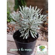 เบญจมาศเงิน กระถาง 2 นิ้ว และ 4 นิ้วcrossostephium bonsai -ต้นมังกรเงิน ไม้อวบน้ำ ฟอกอากาศ