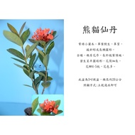 心栽花坊-熊貓仙丹/3吋/開花植物/綠籬植物/售價40特價35