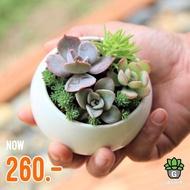 Candy Bowlset Gsucculents กุหลาบหินนำเข้า ไม้อวบน้ำ
