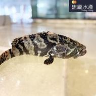 【盅龐水產】現殺活體龍虎石斑冷凍配送 - 淨重700g±5%/尾