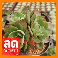 SALE !!สุดๆ ## Echeveria Yangjin 4 inch Muti Heads กุหลาบหินนำเข้า ไม้อวบน้ำ G Succulents Live Succulents Plant ##ต้นไม้เมล็ดพันธุ์