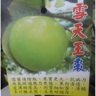 春雪蜜棗苗栽(晚生種-皮薄輕脆多汁)/雪天王棗苗栽(蜜棗改良大果)。宏昌園藝-果樹