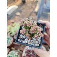 พืชอวบน้ำพืชอวบน้ำ....พรรณไม้เมล็ดพันธุ์คุณภาพดี..!!