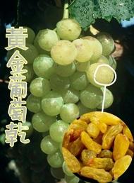 黃金葡萄乾 /金黃大葡萄乾/180g