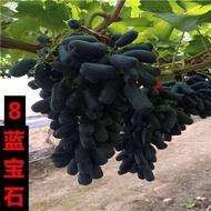 anak pokok buah pokok hidup anak pokok anak pokok anggur Sunshine Rose Grape Sapling Sapphire Seedless Qing Wang Xiangyi