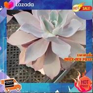 [ ของขวัญ Sale!! ] Echeveria Afterglow กุหลาบหินนำเข้า ไม้อวบน้ำ Imported Live Succulents plant [ สินค้ามาใหม่ Gift ]