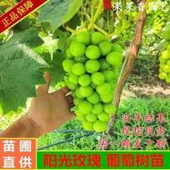 pokok hidup anak pokok buah anak pokok anggur anak pokok Varieti baru sapphire grapeed grape seeded ground potted di bal