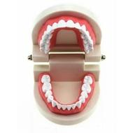 保母培訓1:1標準牙齒模型 教學教具