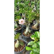 Adenium Thailand Real live Plant