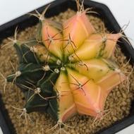 緋牡丹錦 仙人掌 | 多肉植物