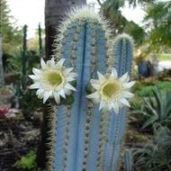 Hot Sale กระบองเพชร ไม้อวบน้ำ cactus succulent seeds เมล็ดพันธุ์ Pilosocereus azureus HU327 ราคาถูก ต้นไม้ ไม้ ประดับ ต้นไม้ ประดับ พรรณ ไม้