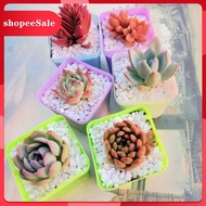 succulents Boutique large succulents potted meat combination package potted with potted soil wholesale indoor flowers an