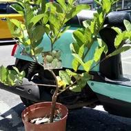 水蜜芭樂 苗 盆 已經在開花了喔 實拍 水蜜拔 新品種