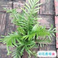 初花農場 美人蕨 3吋盆 觀葉植物 ----定價50特價40