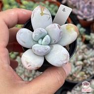 Pachyphytum Cuicatecanum ไม้อวบน้ำ กุหลาบหิน Cactus&Succulent